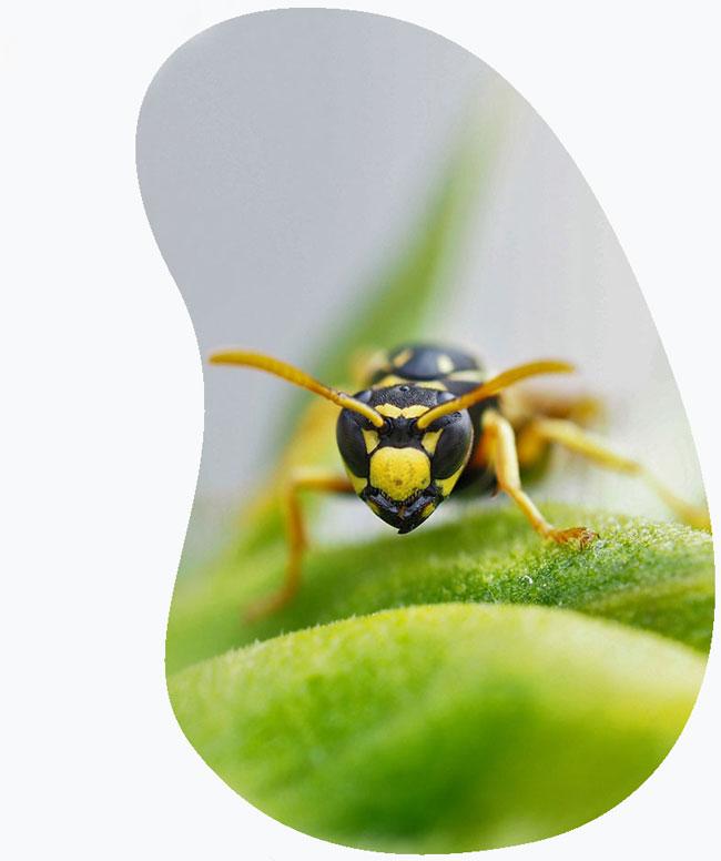 Wespen en bijen